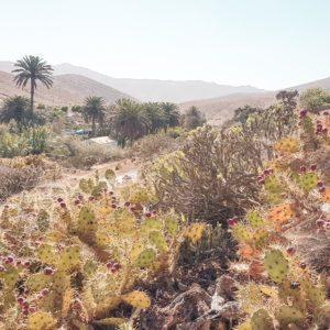 kaktusfeigen betancuria fuerteventura